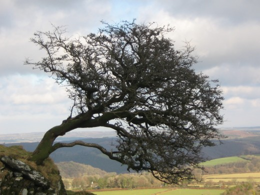 Thorn tree on Brentor