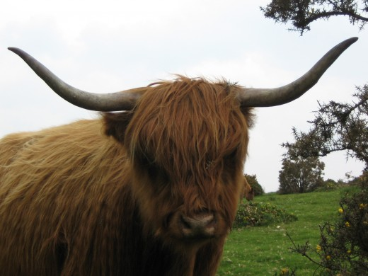 Highland cow near Brentor