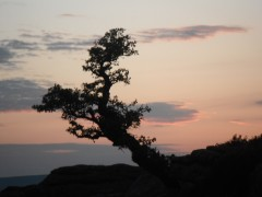 Thorn tree at dusk