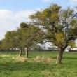 Apple trees adorned with Mistletoe