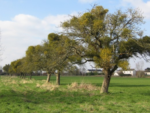 Apple trees adorned with Mistletoe