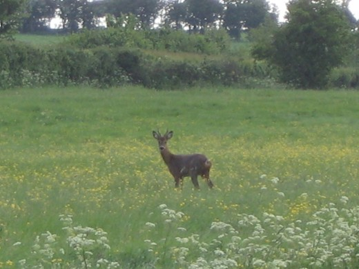 Deer on Somerset Levels