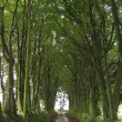 Churchlike Avenue of Beech trees near Milton Abbot
