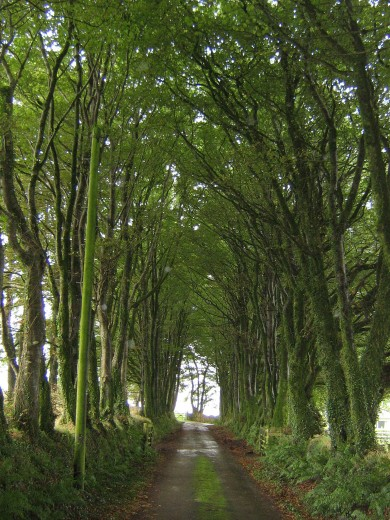 Churchlike Avenue of Beech trees near Milton Abbot