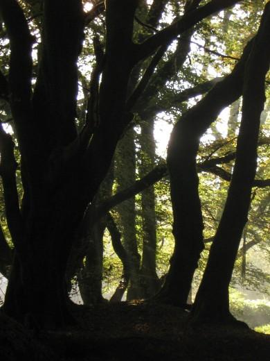 .Beech trees near Golitha Falls