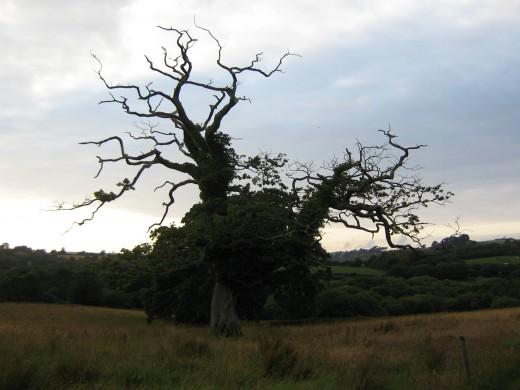 Stag Headed Oak