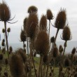 Teasels growing alongside the coast path