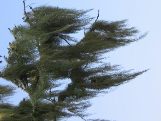 Tree lichen, Bodmin Moor