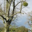Parkland trees with Mistletoe, Orchardleigh