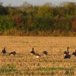 Canada geese grazing on stubble field near Trowbridge
